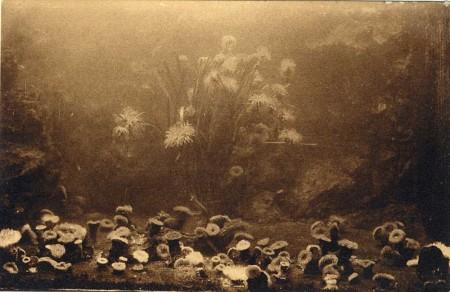 Anémones de mer